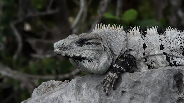 Thumbnail for Iguana Mexico Wildlife 23