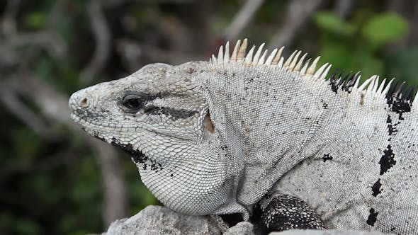 Thumbnail for Iguana Mexico Wildlife 25
