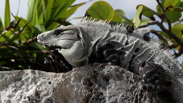 Thumbnail for Iguana Mexico Wildlife 27