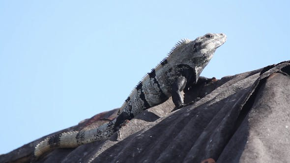 Thumbnail for Iguana Mexico Wildlife 31