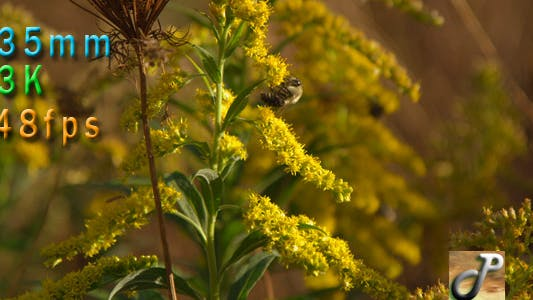 Thumbnail for Bee On Goldenrod Yellow Flowers 2