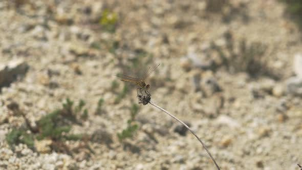 Thumbnail for Dragonfly in Arid Hot Climate