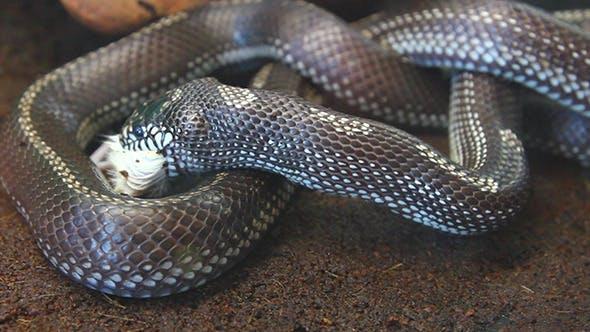 Thumbnail for Snake Eating Mouse