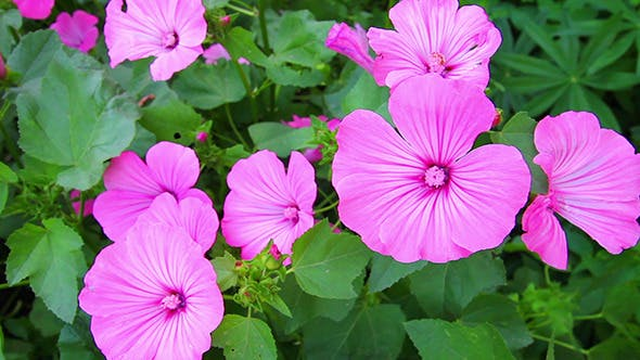 Thumbnail for Blossom Mallow Wildflowers
