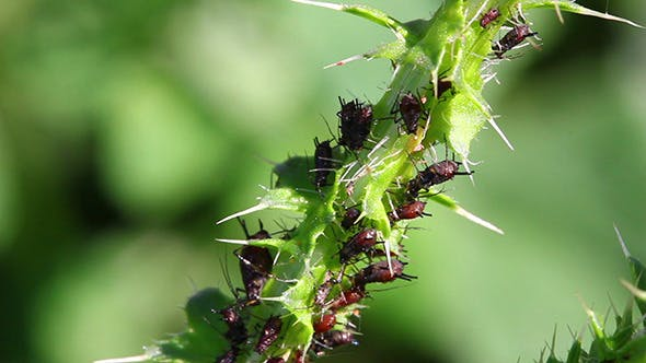 Thumbnail for Lot Of Aphids On Plant
