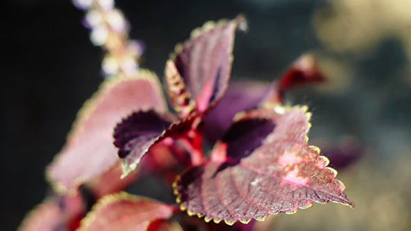 Thumbnail for Wind Shakes Amaranth Leaves