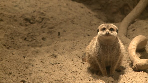 Thumbnail for Curious Meerkats (17 Of 21)