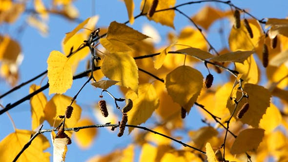 Thumbnail for Autumn Bright Yellow Birch Leaves