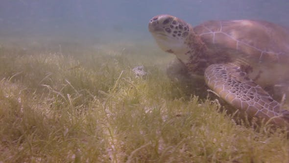 Thumbnail for Loggerhead Turtle Underwater Mexico 16
