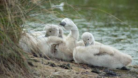 Thumbnail for Swans Baby Cygnets Water Lake 1