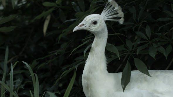 Thumbnail for Peacock
