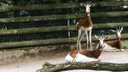 Thumbnail for Baby Deer Gazelle