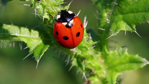 Thumbnail for Ladybug On Green Grass