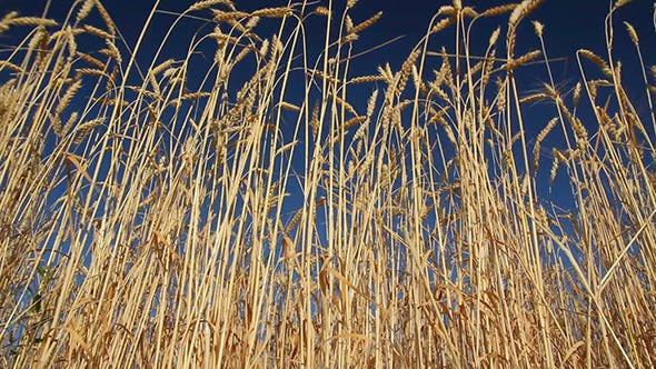 Thumbnail for Stalks Of Ripe Wheat Under A Blue Sky