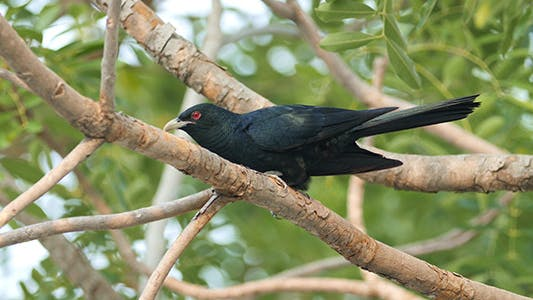 Cover Image for Asian Koel (Eudynamys scolopaceus) 02