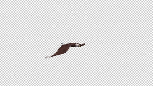 Bald Eagle - Gliding Loop - Side View
