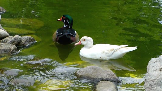 Thumbnail for Ducks on Green Lake