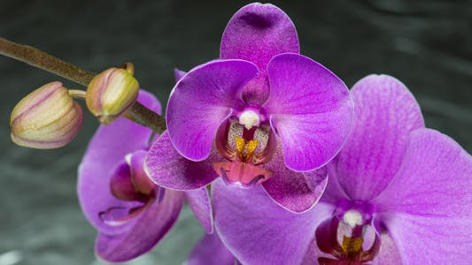 Thumbnail for Purple Orchid Blooming