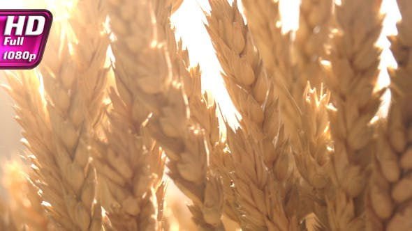 Thumbnail for Ears of Wheat in the Sunlight
