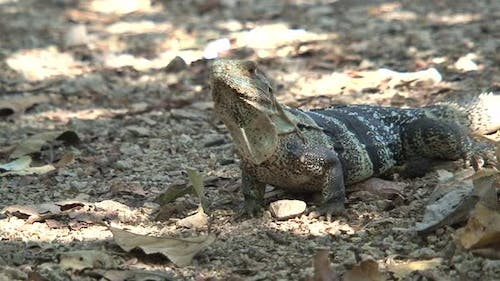 Lizard on the ground in a dry forest