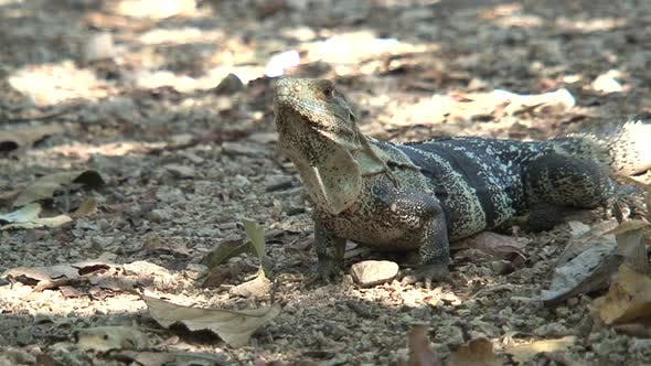Thumbnail for Lizard on the ground in a dry forest
