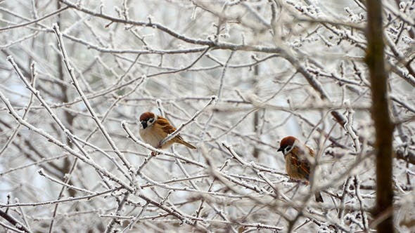 Thumbnail for Sparrows In The Tree In Winter
