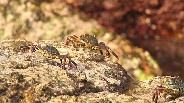 Thumbnail for Crabs on the Rock