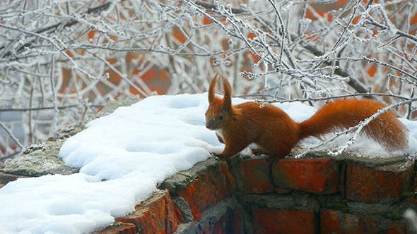 Thumbnail for Squirrel In The Winter Branches