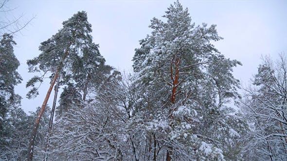 Thumbnail for Winter Trees