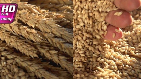 Thumbnail for Rich Harvest of Grain