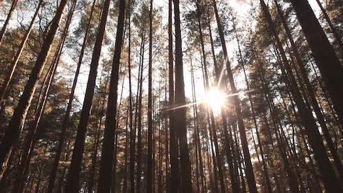 Tilt Up View To Pine Tree Tops Ith Sunburst In Autumn