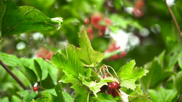 Thumbnail for Branch of Viburnum Berries.