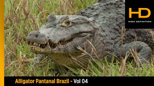 Alligator Pantanal Brazil - Vol 04