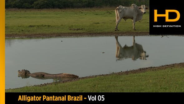 Alligator Pantanal Brazil - Vol 05