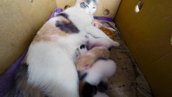 Thumbnail for Cat Breast Feeding Kittens 3