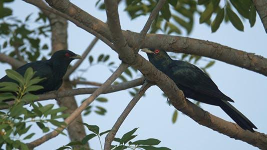 Thumbnail for Asian Koel (Eudynamys scolopaceus) 03