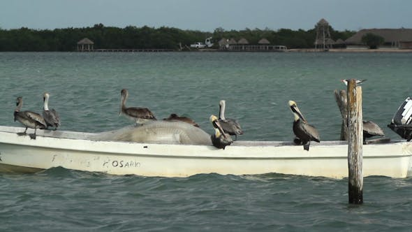 Thumbnail for Brown Pelican Mexico Wildlife 11