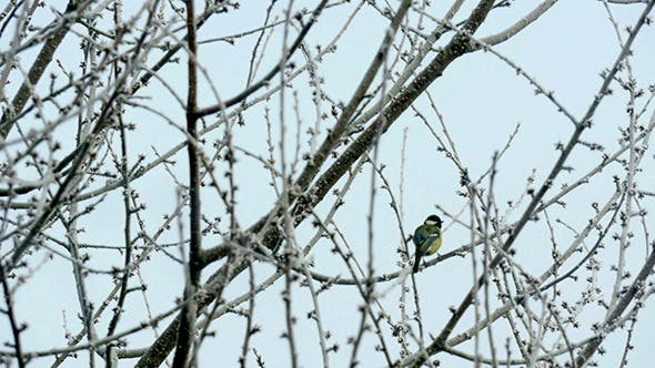 Thumbnail for Great Tit Feeding On The Tree In Winter