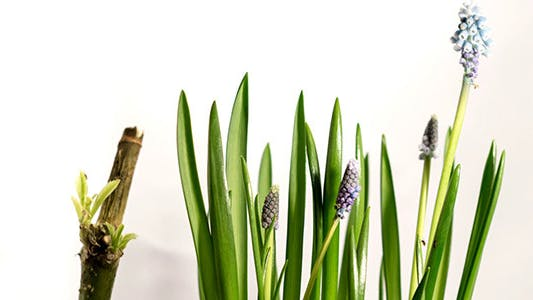 Thumbnail for Growing Blue Muscari Flower