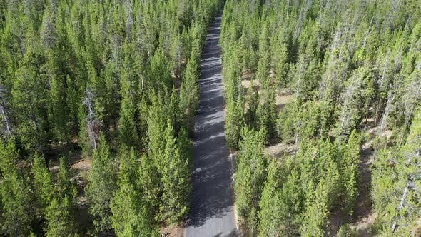 Thumbnail for Flying over dirt road cutting through pine tree forest
