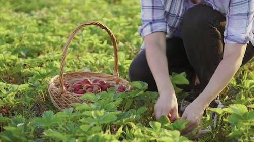Woman Gardener Picking Ripe Strawberries in Basket