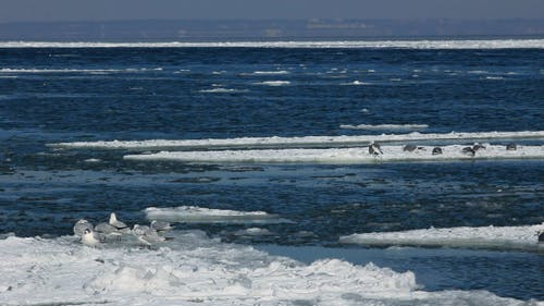 Seagulls on Ice Floes Drifting in the Sea