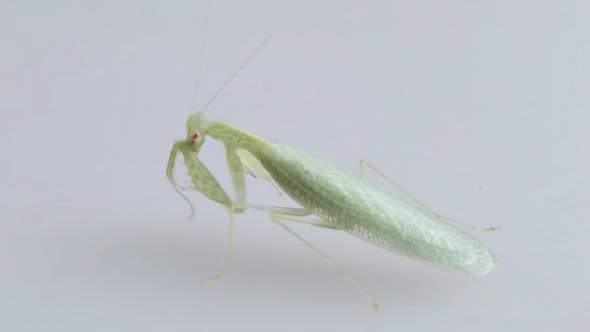 Thumbnail for Mantis
