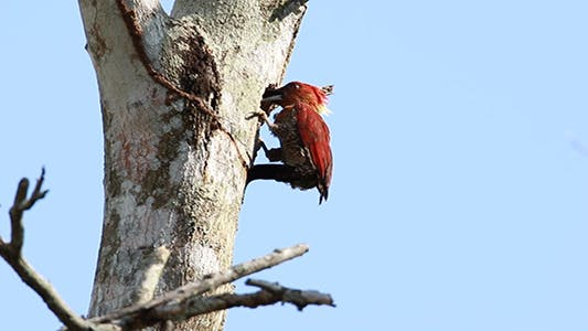 Thumbnail for Banded Woodpecker (Picus miniaceus) 01