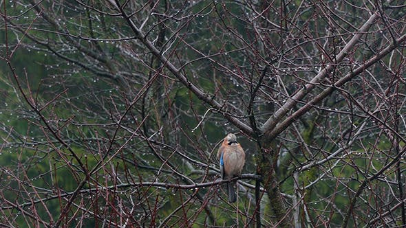 Thumbnail for Jay Perched On Branch And Looking Around