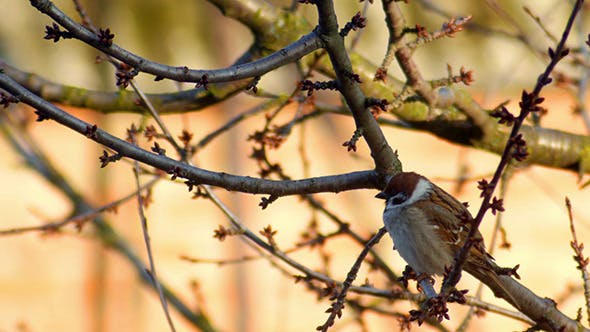 Song Sparrow Singing While Perched In Tree Branch