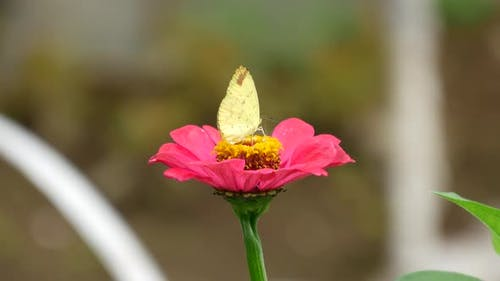 Butterfly at a red flower