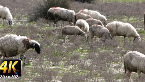 Sheep in Nature 1