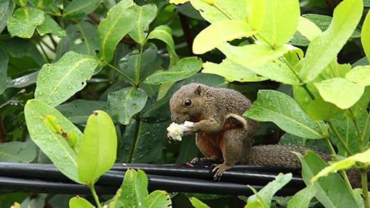 Thumbnail for Wild Squirrel (Callosciurus notatus)