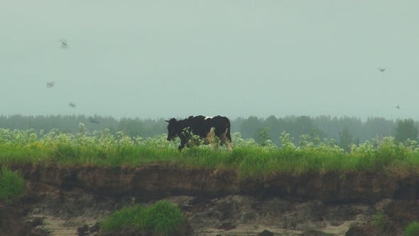 Cover Image for Cows grazing on green field